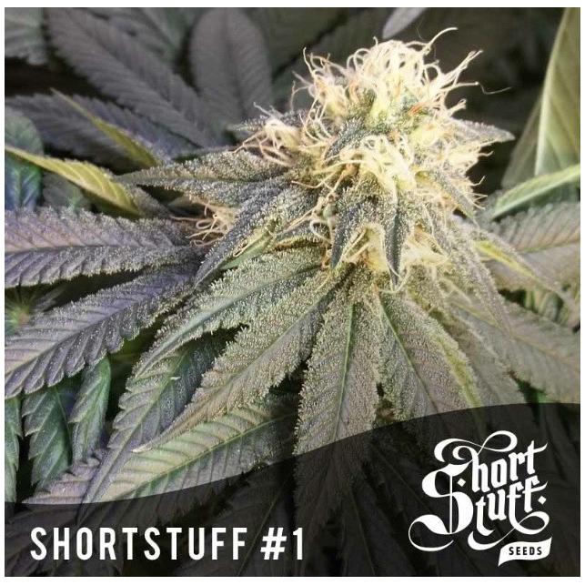 Short Stuff 1 Short Stuff Seeds