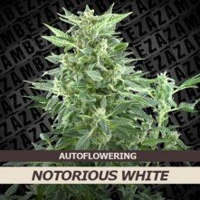 Notorious White Auto