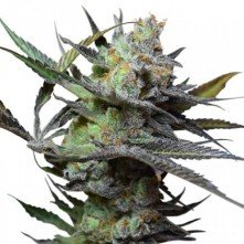 King Kong Big Buddha Seeds