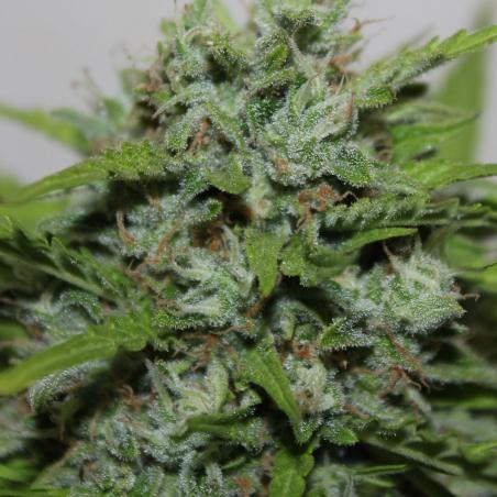 Auto Blueberry Kush Makka Seeds