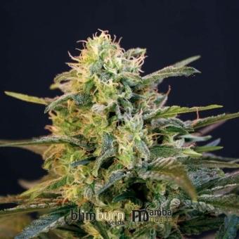 Mamba Negra Blimburn Seeds