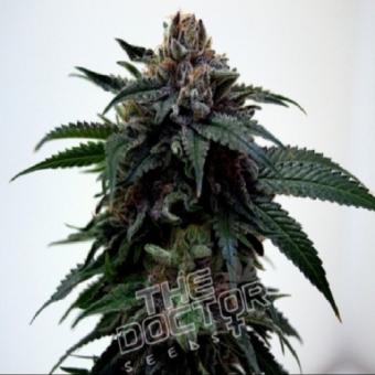 Super Kush Marijuana Seeds