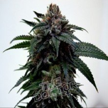 Super Kush Marijuana Seeds