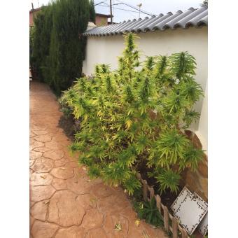 Critical + hierba seca Dinafem