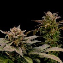 Blue Widow Dinafem Seeds