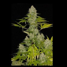 Power Kush Dinafem Seeds