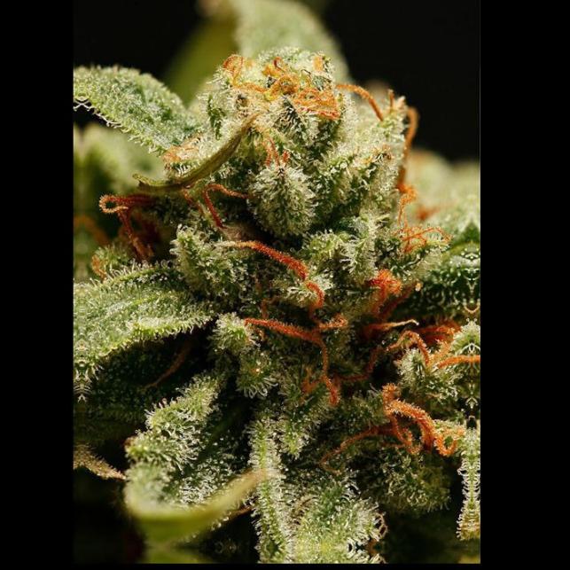 Sweet Deep Grapefruit - Dinafem Seeds