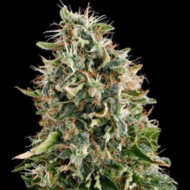 White Siberian - Dinafem Seeds