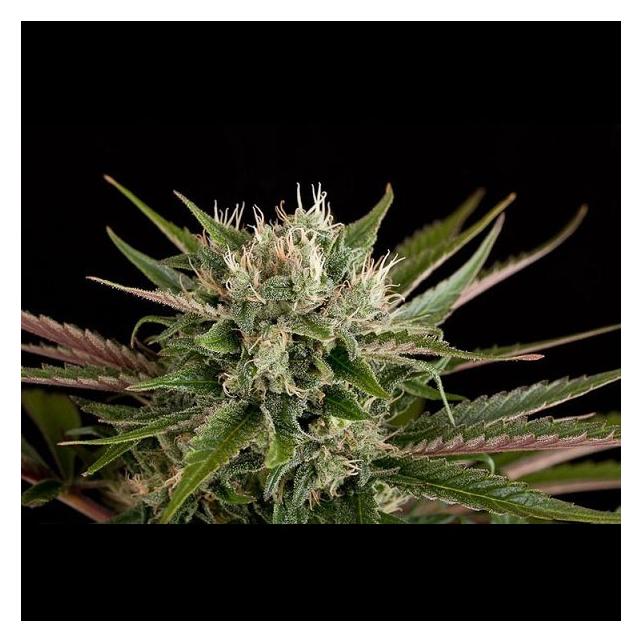 Blue Cheese Auto - Dinafem Seeds