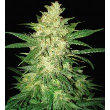 Sweet coffee ryder (Autoflowering Collection)