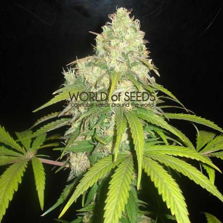 Afgan Kush X Yumbolt (Medicinal) 1