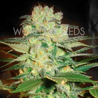 Afgan Kush X White Widow (Medicinal)