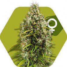 Pineapple Express Zambeza Seeds