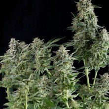 Northern Lights Pyramid Seeds