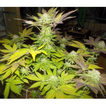 White Widow Pyramid Seeds 2