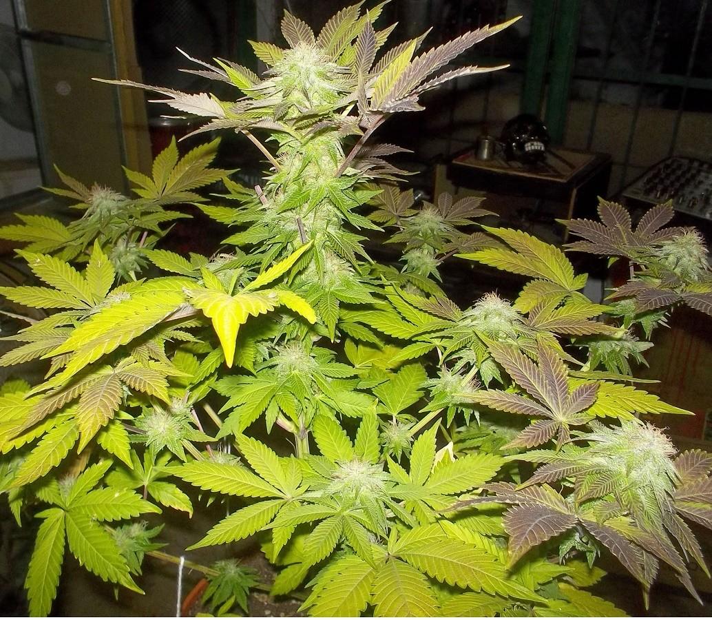 White Widow Pyramid Seeds Feminized Marijuana Seeds