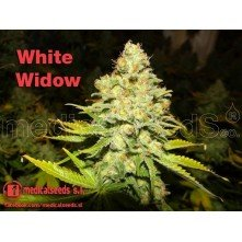 White Widow (Medicinal)