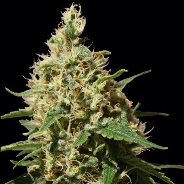 Peppermint Kush 2