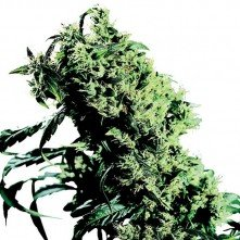 Northern Light  5 X Haze Sensi Seeds Feminized