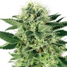 Northern Lights® Sensi Seeds Feminizada