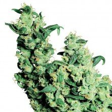Jack Herer® Regular