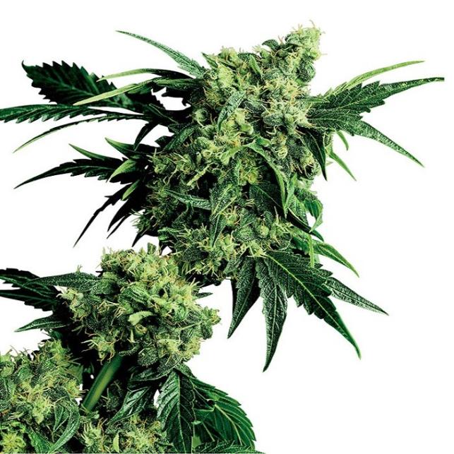 Mr. Nice G13 X Hash Plant®