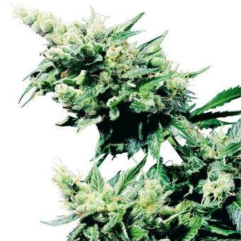Hash Plant®