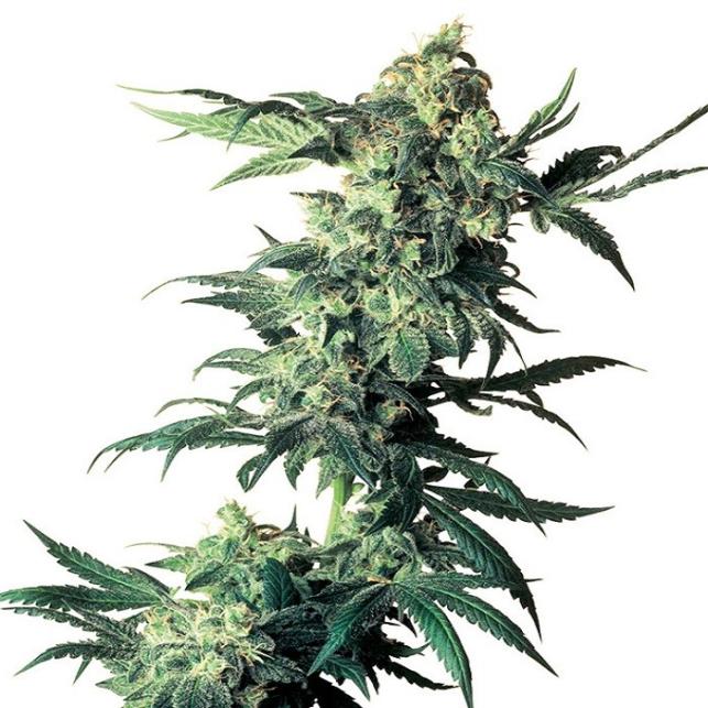 Northern Lights® Sensi Seeds Medicinal