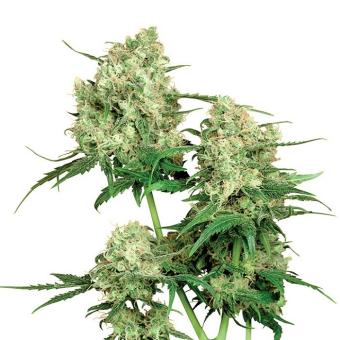 Maple Leaf Indica®
