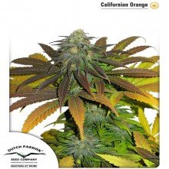 Californian Orange 1