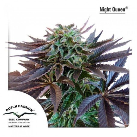 Night Queen 1