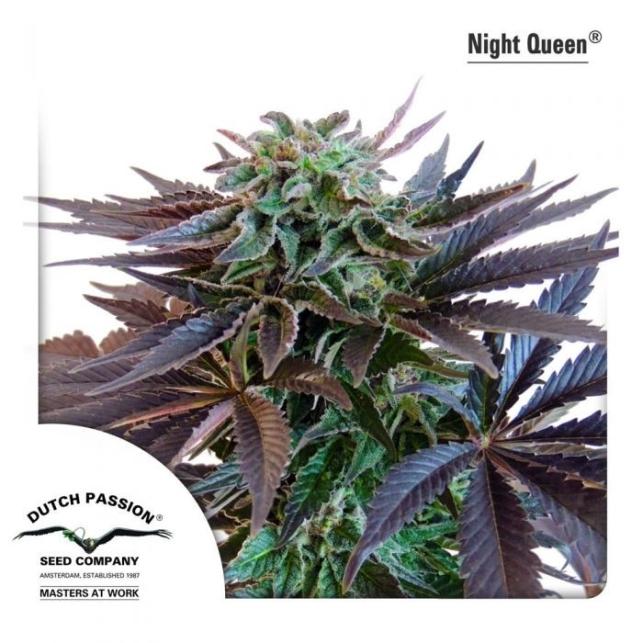 Night Queen 1