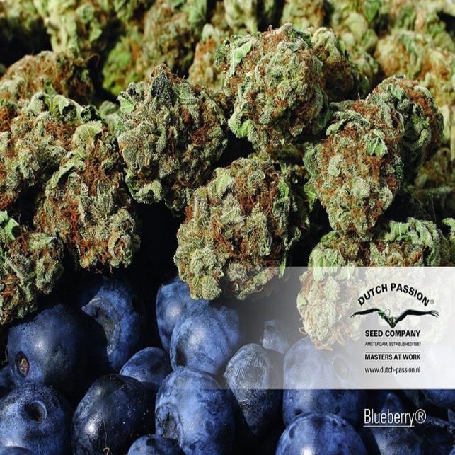 Blueberry Dutch Passion 2