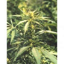 Hawaii Maui Waui The Sativa Seedbank