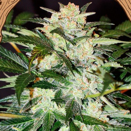 The senses appreciate Monster Mash for its intense and sweet aroma and flavor with earthy nuances and touches of pine and barrel...