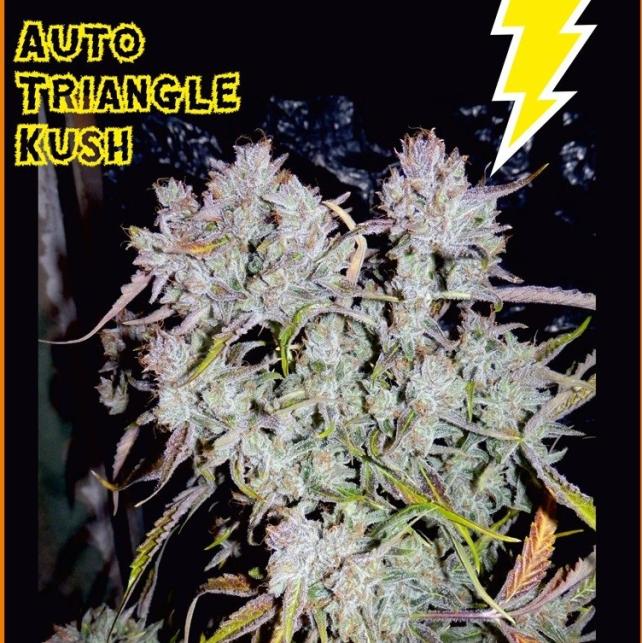 Auto Triangle Kush