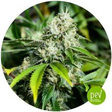 White Widow XTRM