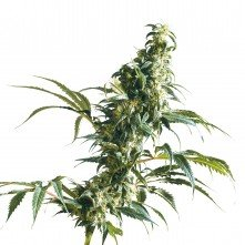 Mexican Sativa Feminized