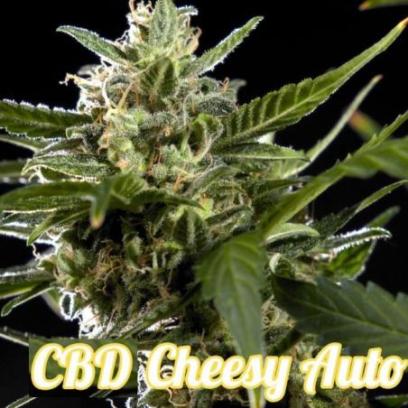 Cheesy Auto CBD