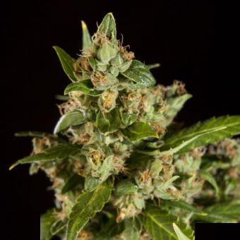 Jamaican Blueberry BX