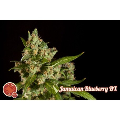 Jamaican Blueberry