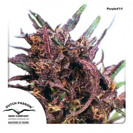 Purple Dutch Passion