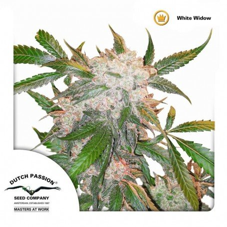 White Widow Dutch Passion 2