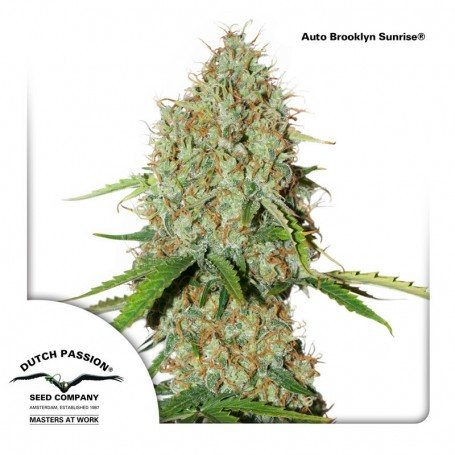 Auto Brooklyn Sunrise - Dutch Passion