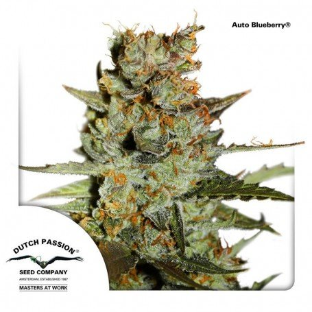 Auto Blackberry Kush, grows compact but branched form, dark and with a powerful physical effect that will captivate you...