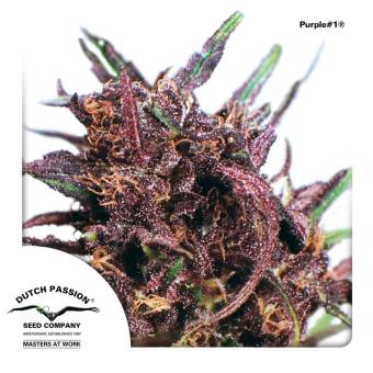Purple  1 3