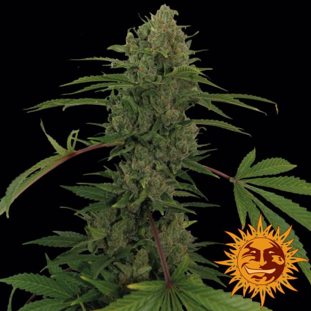 Critical Kush Auto est facile à cultiver et sans trop d'efforts, vous récolterez des fleurs dures comme des pierres qui dégagent un arôme délicat.