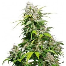 California Indica Feminized