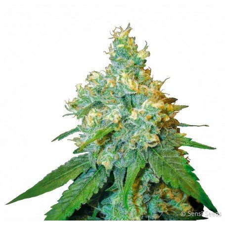 Jack Herer Feminized is a potent plant with one of the most delicious flavors and aromas in cannabis world
