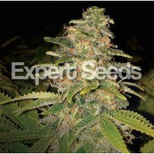 Critical Blue Auto Expert Seeds